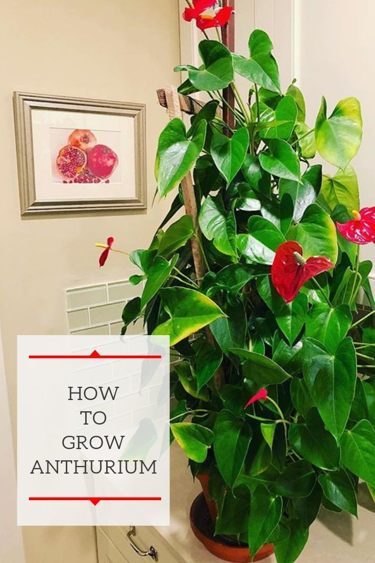 Learn Everything You Need To Know About Anthurium Plant Care From Lighting To The Proper Potting Mix You Will Be Ar Anthurium Plant Anthurium Care Anthurium