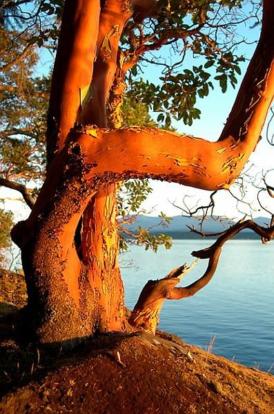Arbutus Tree, Mudge island, BC