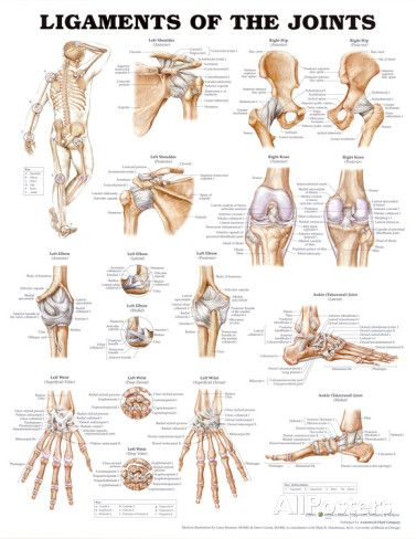 Ligaments of the Joints Anatomical Chart Poster Print Poster bij AllPosters.nl