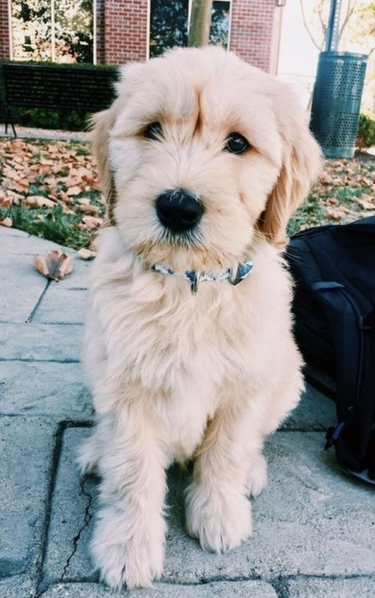 25+ Best Ideas About Labradoodle Puppies On Pinterest