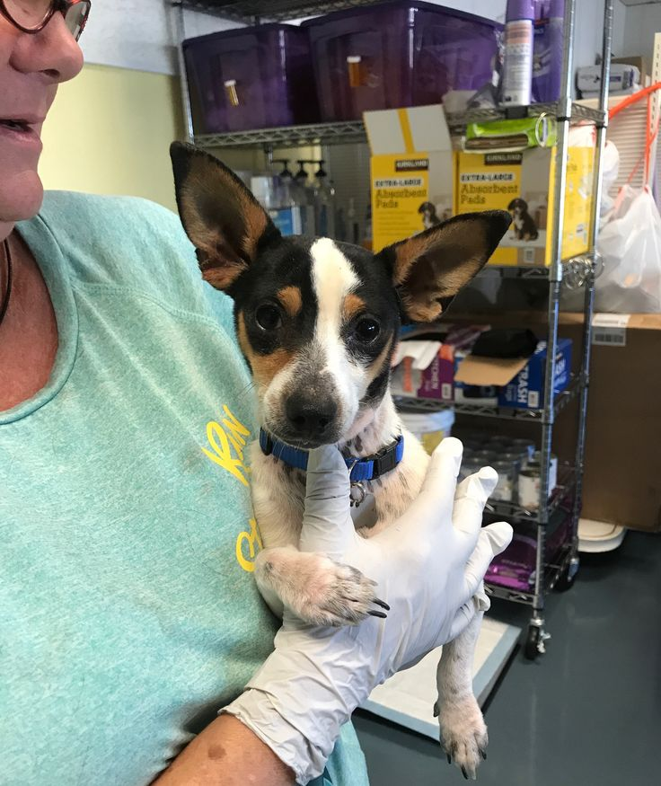 Jack Chi dog for Adoption in Chico, CA. ADN-606641 on PuppyFinder.com Gender: Male. Age: Adult