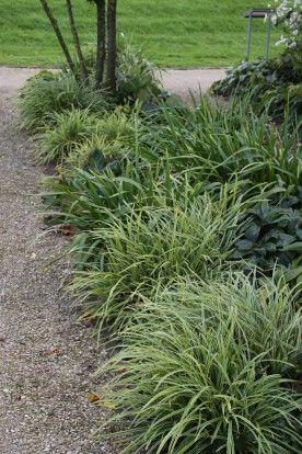 Carex morrowii 'Ice Dance' - Zegge - De Tuinen van Appeltern