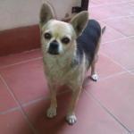 Chihuahua en adopción