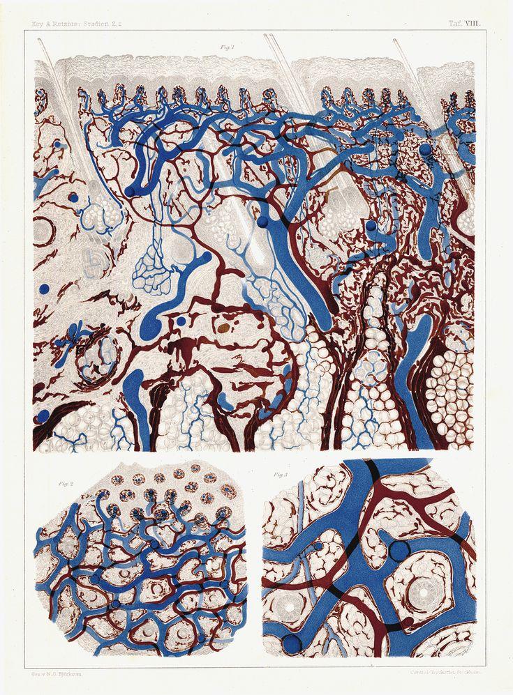 Lymphe et vaisseaux sanguins dans la peau humaine – RETZIUS, Gustaf (1842–1919) & KEY, Axel (1832–1901)