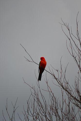 Male Australian King-Parrot #Alisterus #Scapularis