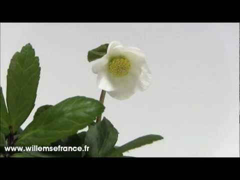 La #Rose de noel Blanche