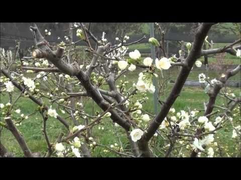 ▶ How to prune Plum trees - YouTube