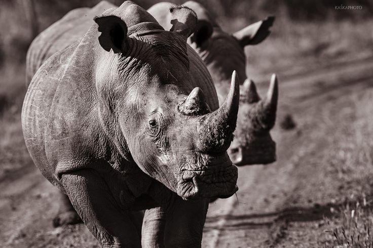 Kaska Photo » Fauna Nosorożce zdjęcie Kaśka Sikora #Madikwe #GameReserve #MadikweGameReserve #KaśkaSikora #Słonie #KatarzynaSikora #Sikora #fotografWarszawa #fotografia #Afryka #Podróże