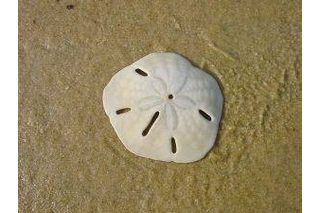 Sand dollars are sea-dwelling echinoderms that are related to sea urchins and starfish. Once they have died, their hard outer shells remain and are considered by many to be a fascinating, even beautiful, souvenir. If you live close to a saltwater beach, you can collect your own sand dollars and preserve them yourself using household supplies. But...