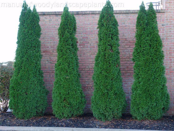 "Emerald Green Arborvitae  Thuja Occidentalis 'Smaragd'   Growth:  6-12"" per year  Garden Size:  15' H x 3' W Cold Hardiness -30 to -20F Full Sun"