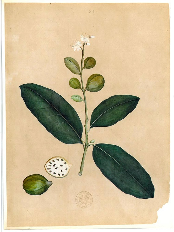 Botanical Illustration Guava  Plants Timor