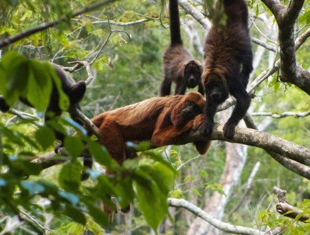 Monkey population devastated by yellow fever | Discover Wildlife - The population of brown howler monkeys has been decimated by the yellow fever virus © Carla Possamai, Muriqui Project of Caratinga 30Mar2017