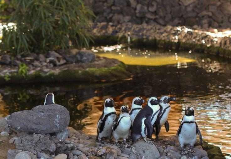 The penguins at Hyatt Regency Maui Resort and Spa are among the luxury hotel's resident wildlife.