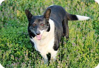 Hagerstown, MD - Corgi/Border Collie Mix. Meet PRINCESS HAPPY, a dog for adoption. http://www.adoptapet.com/pet/17911265-hagerstown-maryland-corgi-mix