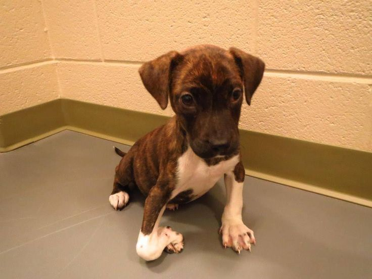 "WINDER, GA #EXTREMELY #URGENT ✮ ""Peanut"" ✮ ID #2013-09-236 Pit x, Brindle/WH, Female, 6 Wks Old, #Friendly! Something is #WRONG w her leg & foot. She didn't come into the shelter like this. She gets around pretty good, her spirits are high! HOWEVER she NEEDS to be rescued from the shelter ASAP!!!!! Barrow County AC Shelter 616 Barrow Pk Dr Winder, GA 30680 Phone 770-307-3012 (NO return long distance) 770 - 867-1660 Fax Kimberly Perez – kperez@barrowga.org Danyal Harper – dharper@barrowga.org"