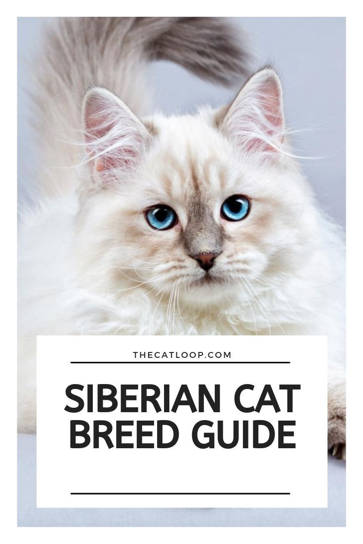 Siberian Cat Breed Guide Siberian Cat Cat Breeds Siberian