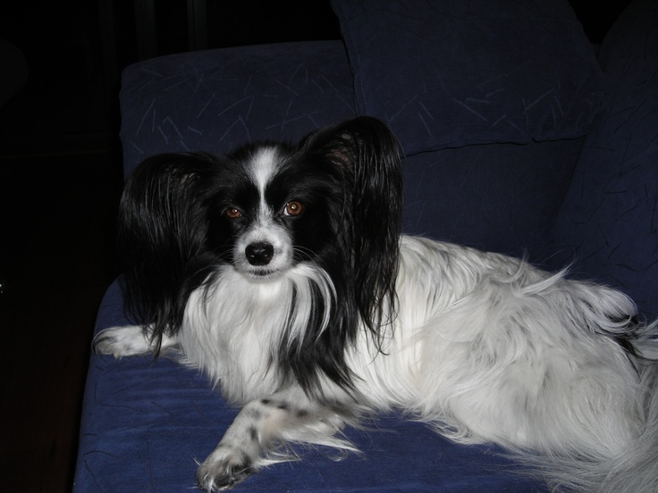 Papillion before the groomer got busy! #papillion
