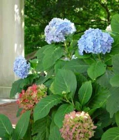 Blue Hydrangea Turning Using Coffee Grounds Fruit Ls Lawn Clippings Peat Moss And Pine Needles For Acidic Soil
