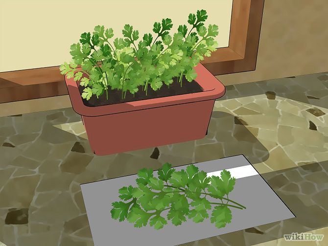 "Best tutorial I've read so far in growing cilantro. ""How to Grow Cilantro: 12 Steps (with Pictures) - wikiHow"""