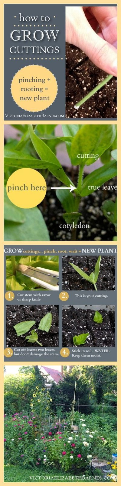 How to grow plant cuttings. Step-by-step instructions for pinching plants and rooting the cuttings... You'll have fuller plants and more flowers.