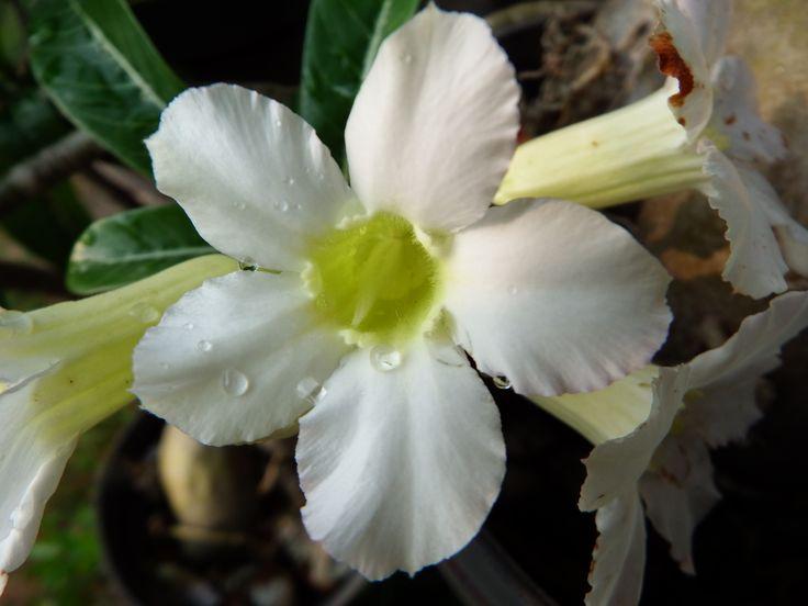 Adenium Putih