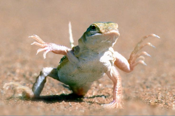 When it's 60 degrees, you can't help but dance to the beat of the heat! Like this Shovel-snouted lizard, dancing to prevent its feet from burning and its body from overheating.