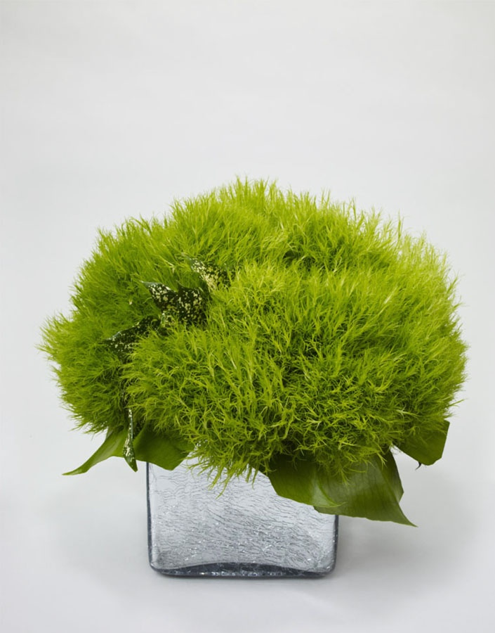 Green Trix Dianthus by L'Olivier.com
