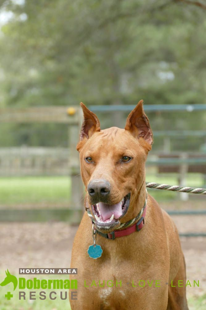 Doberman Pinscher Dog For Adoption In Cypress Tx Adn 817169 On