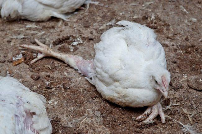 chicken facts, lame chicken
