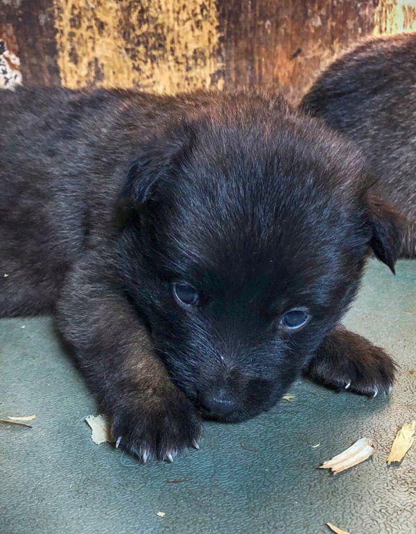 Belgian Malinois Puppy Dark Sable Www Wolfsbanek9 Com Belgian Malinois Puppies Belgian Malinois Belgian Malinois Breeders
