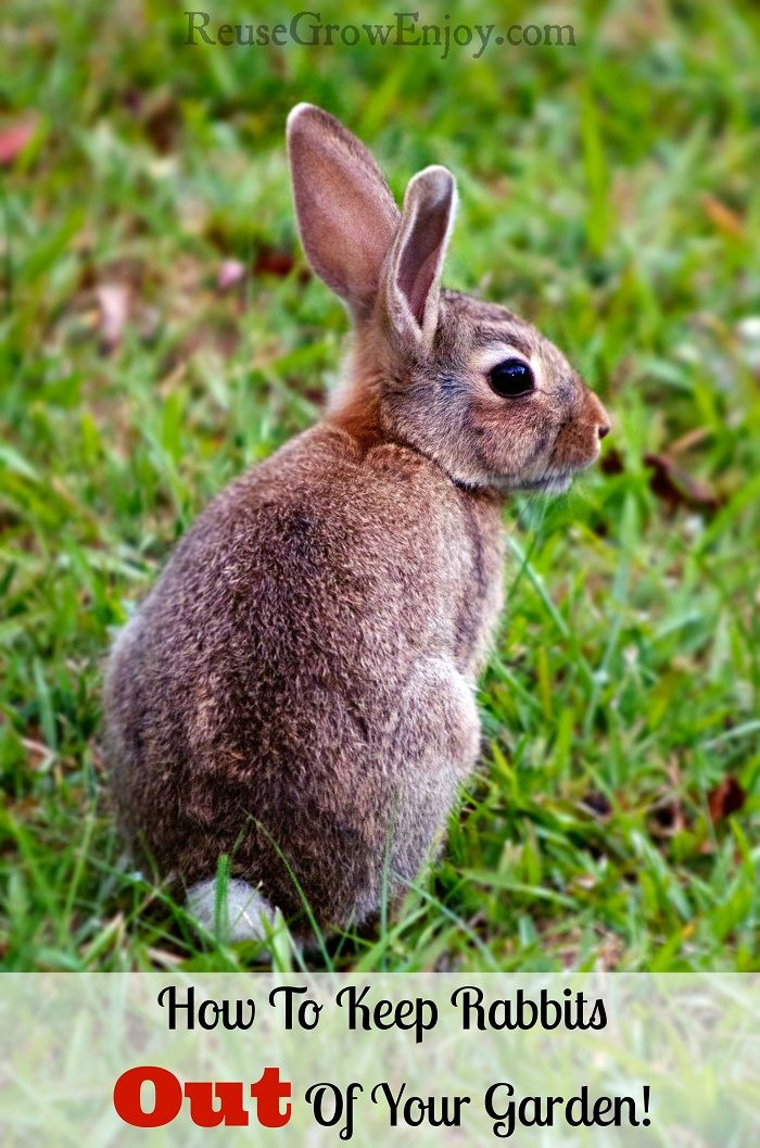 Having trouble with rabbits eating all your hard work? Hear is How To Keep…