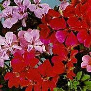 Riippapelargoni - Pelargonium peltatum - murgrönspelargon, hängpelargon