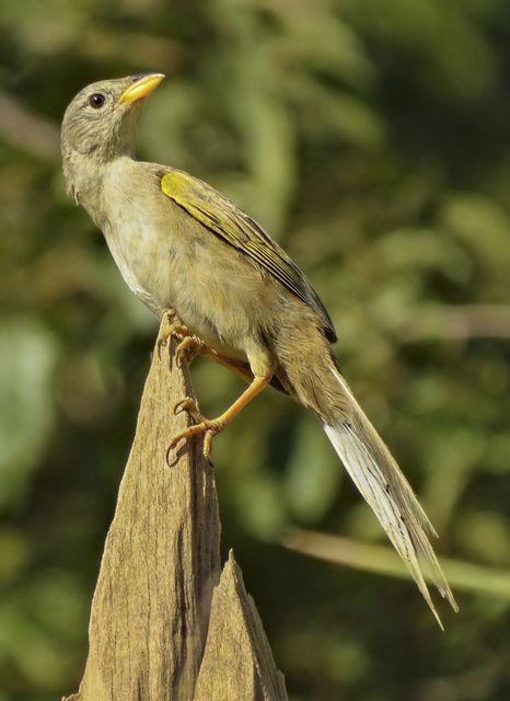 Foto canário-do-campo (Emberizoides herbicola) por Henrique Junior | Wiki Aves - A Enciclopédia das Aves do Brasil