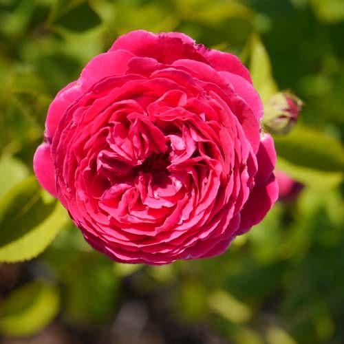 Roseira Fairy Rood - PlantarFlores.com.br