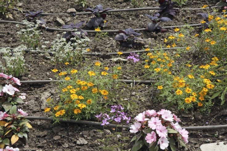 flowerbed with flowers and the automatic irrigation system with plastic pipes