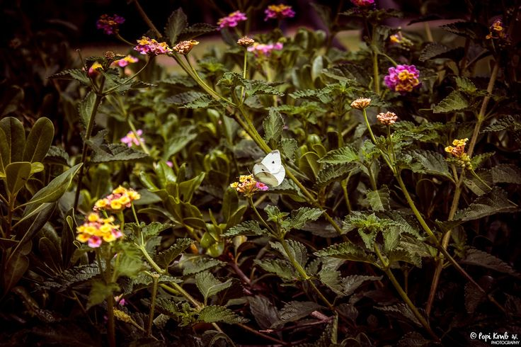A male small white butterfly © Popi Kmb