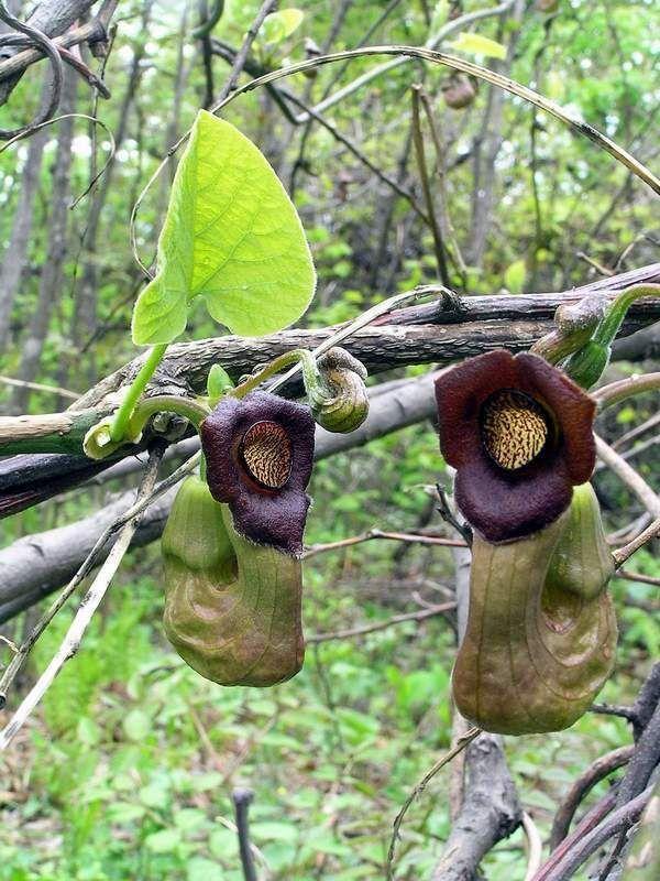 Aristolochia Manshuriensis Dutchmans Pipe Vine Exotic Seeds | eBay