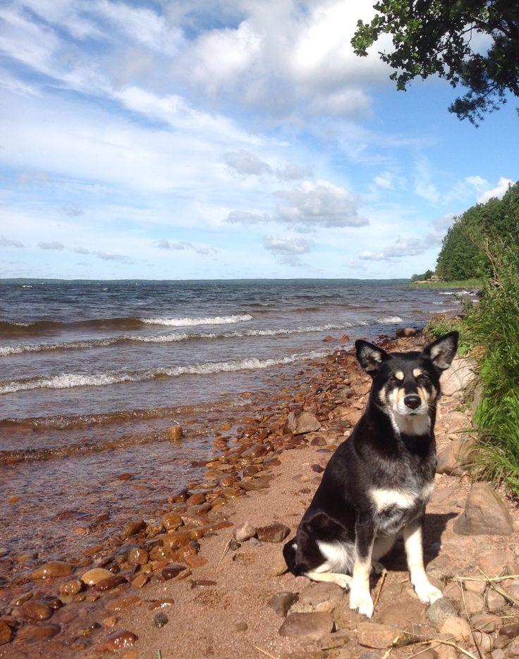 Pyhäjärvi, Eura Lapinporokoira, koira  Suomi ja järvi