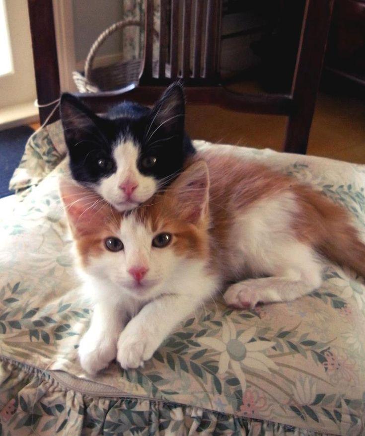 Le chat à 2 têtes ... lol