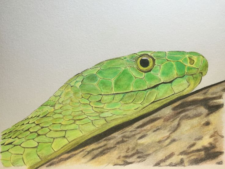 Green Mamba, Polychromos color pencils on mix media paper