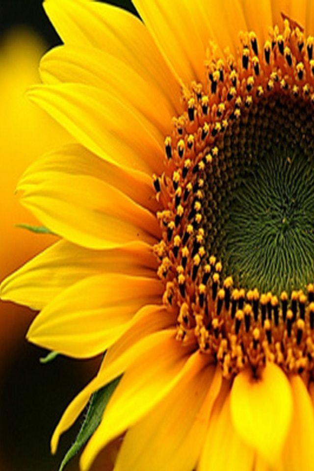 The 25+ best Sunflower wallpaper ideas on Pinterest ...