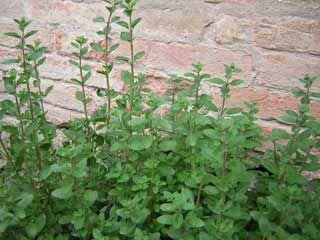 Origanum majorana = Majorana hortensis
