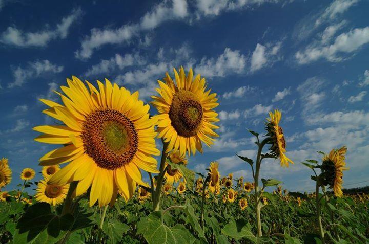 Anche se credi di non avere il pollice verde, piantare semi di girasole è il modo più facile e istruttivo per avere un giardino bello e fiorito.