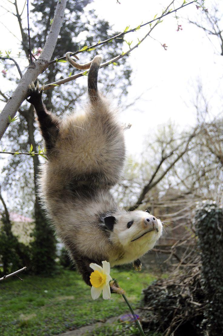 Cute Animal, Opossum Mount, Animal Kingdom, Creatures, Cutest Possum, Happy Possum, Happy Opossum, Yellow Flower, Adorable Animal