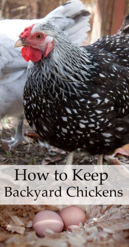 The Benefits Of Keeping Backyard Chickens Go Beyond Having Fresh Eggs In  The Morning. Chickens