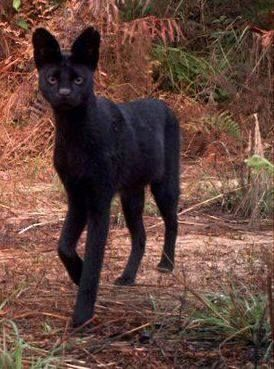 Wow, never seen this breed. How utterly gorgeous! rare black serval
