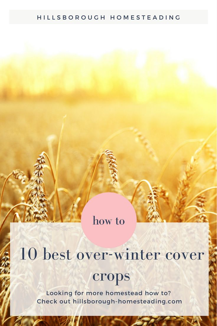 Top 10 best cover crops to use to plant in the Fall and protect your garden all winter. Till the plants into the soil in the Spring for your best garden yet! | Hillsborough Homesteading