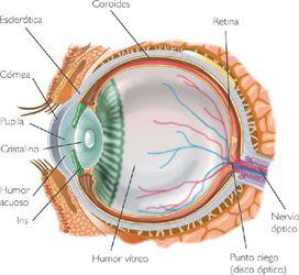 En esta imagen se puede ver el ojo humano y sus diferentes partes.Algunas de ellas son:-Córnea:capa transparente que permite la entrada de luz.-Pupila.abertura en el iris(anillo pigmentado de músculos,detrás de la córnea).-Cristalino: capas transparentes que permiten enfocar objetos a diferentes distancias.-Esclerótica:capa externa opaca que no permite la entrada de luz.  Referencia bibliográfica: Fundamentos de Fisiología de la Conducta,10ª Ed,de Carlson,N.