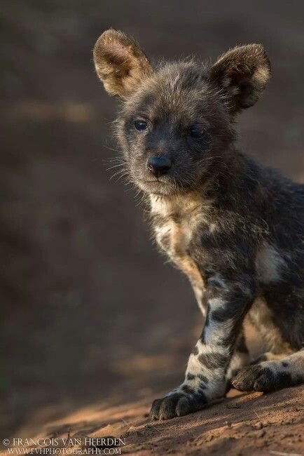 AFRICAN WILD DOG.....also know as the painted dog, cape hunting dog, African wild hunting dog...found in the savannah, plains, swamps and semi-desert areas of Africa....a body length of 30 - 43 inches, a tail length of 12 - 16 inches, weight of 37 - 79 lbs....can reach speeds up to 45 mph....among the top ten fastest land animals in the world.... approximately only 4,000 African Wild Dogs left worldwide