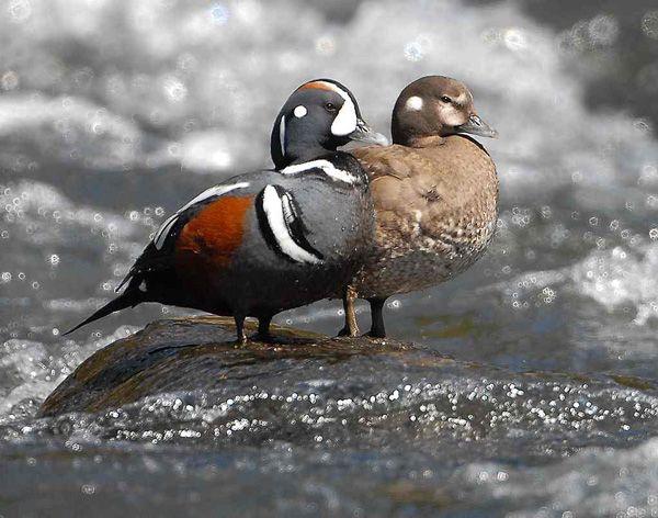 Harlequin Duck   Male & Female